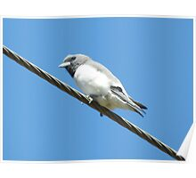 ~ A White-Breasted Woodswallow ~ Poster