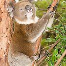 Koala #2 by Aden Brown