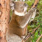 Koala #3 by Aden Brown