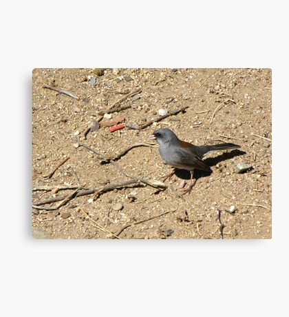 Dark-eyed Junco ~ Red-backed Subspecies Canvas Print