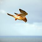 Byron Bay Kestrel by Hege Nolan