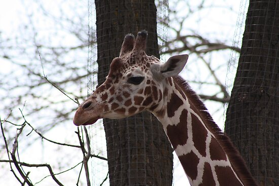 Reticulated Giraffe by Alyce Taylor