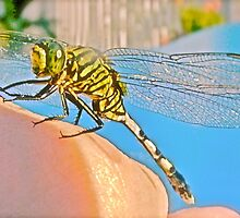 Giant Dragonfly ~ Odonata. by NICK COBURN PHILLIPS