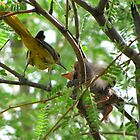 Hooded Orioles ~ Mother feeding Baby by Kimberly P-Chadwick
