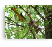 Hooded Orioles ~ Mother feeding Baby Canvas Print