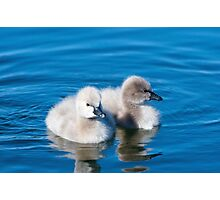 2 Cygnets Photographic Print