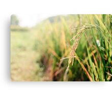 Rice Paddy in the morning with backlighting sun Canvas Print