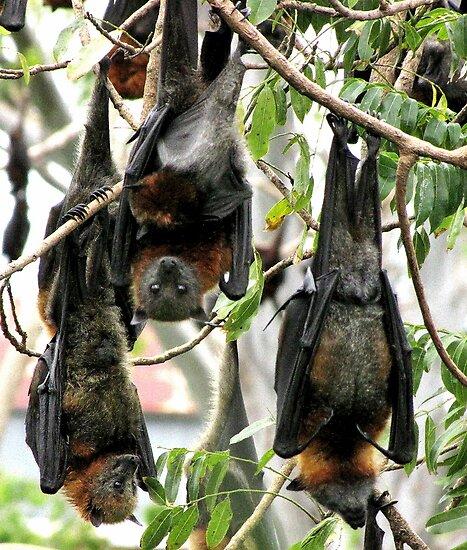 Fruit bats by bobby1