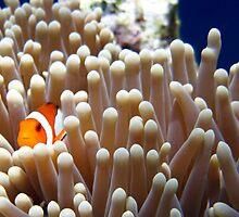 A Clownfish hiding inside an anemone by Fajar Nurdiansyah