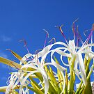 Hymenocallis flower - Wallygroom Spider Flower by Bruno Beach