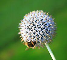 South Otterington Allium with Bumble Bee by Liz Garnett