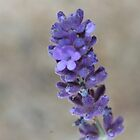 Lavender by Renee Blake