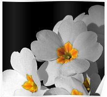 Primrose in Black and White Poster