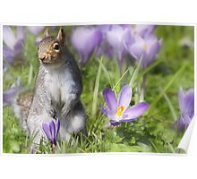 The Crocus patch Poster