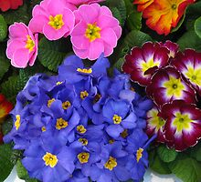 Primroses by Maria1606