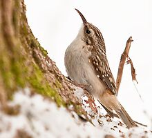 Brown Creeper by Benjamin Brauer
