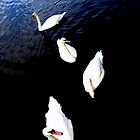 Swans from an angle by Melissa Blowers