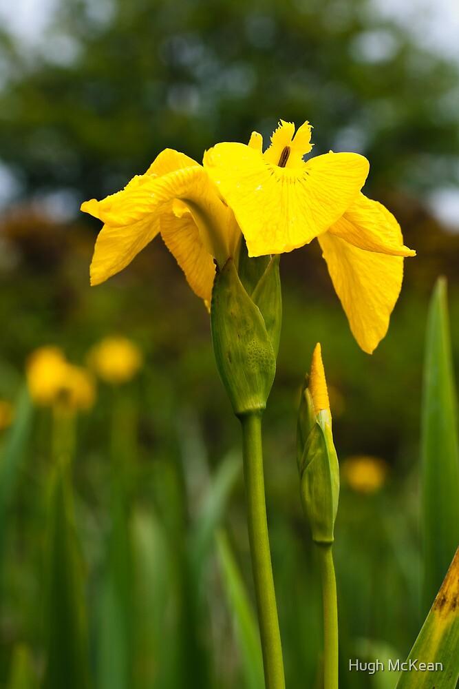 Plant, Wild flower, Yellow Flag , Iris pseudacorus by Hugh McKean
