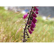 Foxgloves, Lakeside Kerry, Ireland Photographic Print