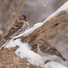 Common Redpoll Pairing by Benjamin Brauer