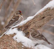 Common Redpoll Pairing by Benjamin Brauer