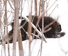 Porcupine in Snow by Benjamin Brauer