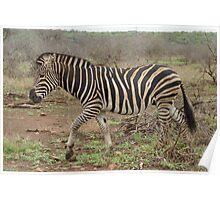 Zebra in Savannah - Kruger National Park Poster