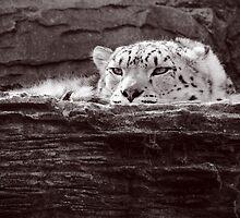Snow Leopard by TheStaggeringGenius