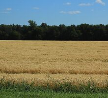 Field of Wheat on the Prairies by rhamm