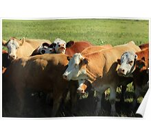 Cattle on the Prairies Poster