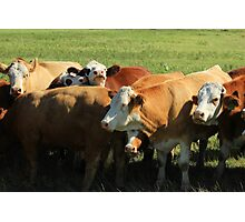 Cattle on the Prairies Photographic Print