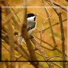 Chickadee Anticipation by Trudy Wilkerson