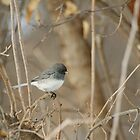 Dark Eyed Junco in Spring by Robin Clifton