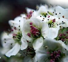 Spring Blossom by Mattie Bryant