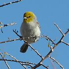 Verdin by Kimberly Chadwick