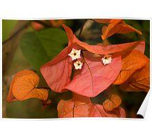 Autumnal Bouganvillea Poster