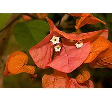 Autumnal Bouganvillea Photographic Print