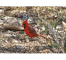 Northern Cardinal ~ Male Photographic Print