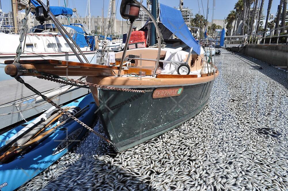 Million Dead Fish Redondo Beach, Calif.. by Rita  H. Ireland