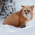 Red Fox by (Tallow) Dave  Van de Laar