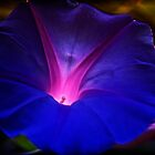 MORNING GLORY 01 by JOE CALLERI
