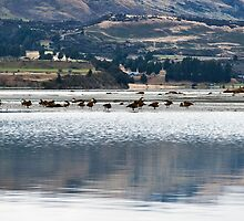 Lake Wakatipu ducks by Odille Esmonde-Morgan