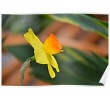 Lonely daffodil at the Conservatory Poster