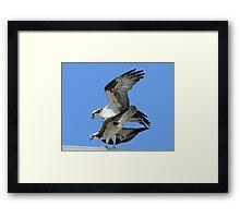 Mating ospreys Framed Print