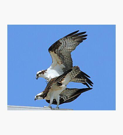 Mating ospreys Photographic Print