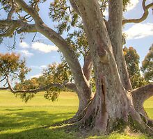 Smooth Barked Apple (Angophora costata) by Philip Greenwood