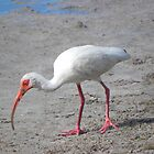 Ibis with a Dirty Beak by Rosalie Scanlon