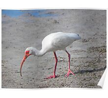 Ibis with a Dirty Beak Poster
