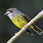 Pale Yellow Robin - Julatten NQ by Alwyn Simple