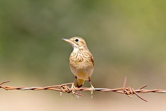 Pipit by upadhyay